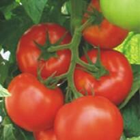 Tomate Akrai - 50 sementes