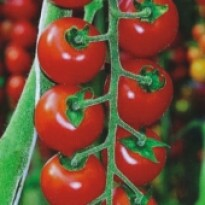 Tomate Cereja Hibrido - Chipano Longa Vida-Sais - 50 sementes
