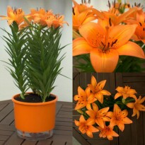 Kit Orange Feelings (Vaso Autoirrigável + Bulbo de Lírio Coral)