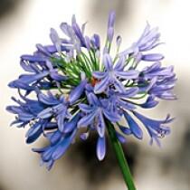 Agapanto Azul