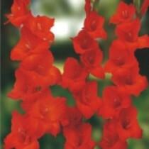 """Gladíolos """"Red Beauty"""""""