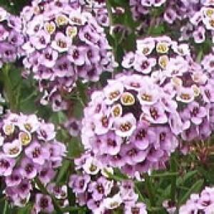 Flor-de-mel Violeta (Lobularia maritima)   CARPET VIOLET QUEEN