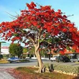 """Flamboyant """"Vermelho"""""""