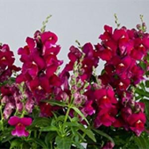 Boca-de-Leão Anã - Antirrhinum F1 Floral Showers Purple - 1000 sementes