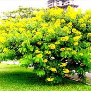Cássia do Nordeste (Senna Spectabilis)