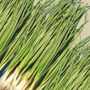 Cebolinha Híbrida Atlantica - 1000 sementes
