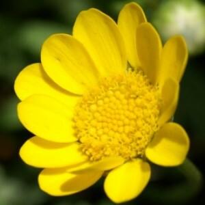 Chrysanthemum Multicaule Amarelo