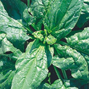 Espinafre Verdadeiro - Viroflay - 100 gramas