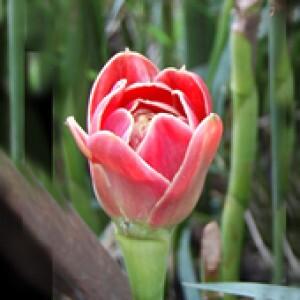 """Bastão-do-imperador """"Tulipa"""" - (1 Rizoma)"""
