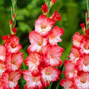 Gladíolos Pink Lady (6 bulbos)