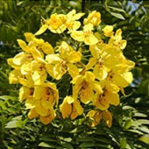 Barbatimão Ornamental (Cassia leptophylla) (Ref 728)