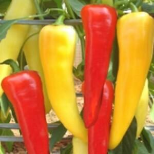 Pimenta Guaraciaba Jalapenho - 50 sementes