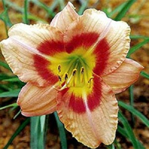 Hemerocallis - Buffy's Doll