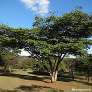 Jatobá (Hymenaea courbaril) - 10 g