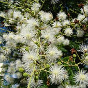 Maricá (Mimosa bimucronata)