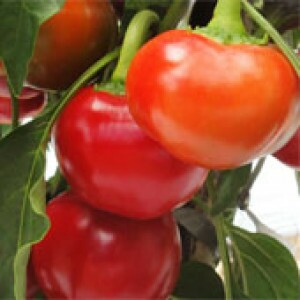 Pimenta Hibrida Capperino - 50 sementes
