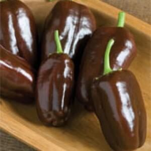 Pimenta Hot Chocolate - (ref 984) - 50 sementes