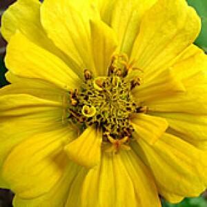 Zínia Gigante da Califórnia Amarela (Ref 835)