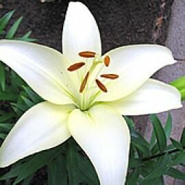 Lírio Branco - Navona (2 unidades)