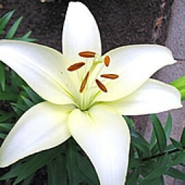 Lírio Branco (2 unidades)