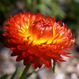 Sempre Viva (Flor-de-palha) (Ref 397)