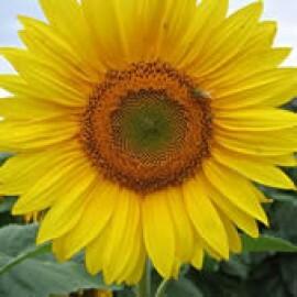 Girassol ZEBULON de Jardim Amarelo Alto - 50g (Ref 392) Lote:129014