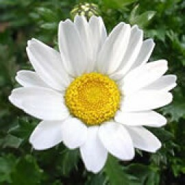 Margaridinha Branca - Chrysanthemum Paludosum Branco - (Ref 735)