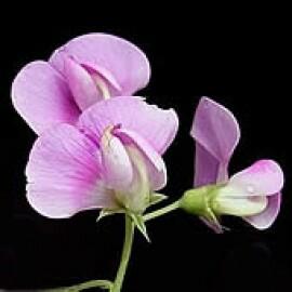 Ervilha Cheirosa Sortida (Ref 404)