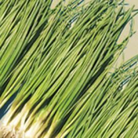 Cebolinha Híbrida Sahara - 1000 sementes
