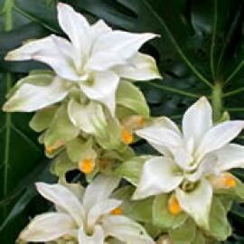 Curcuma Branca - 1 rizoma