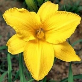 Hemerocallis - By Myself