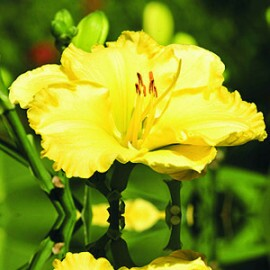 Hemerocallis Dorinha (Flor Perfumada)