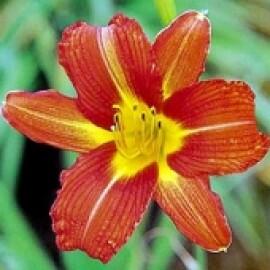 Hemerocallis - Hariet