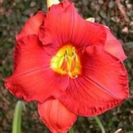 Hemerocallis - Longhi