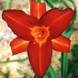 Hemerocallis - Red Waves