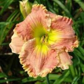 Hemerocallis Roseana Murray