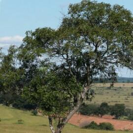 Pau Amendoim (Pterogyne nitens) (Ref 774)