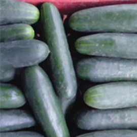 Pepino Híbrido Salada Targa - 50 sementes