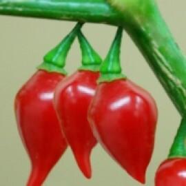 Pimenta BRS Moema Biquinho (Ref 969)