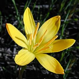 """Lírio-do-vento """"Amarelo"""" (5 unidades)"""