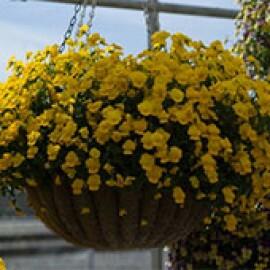 Amor-perfeito Pendente - Viola F1 Rebelina Golden Yellow