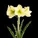 Amarílis LUISE (Verde / Amarelo)